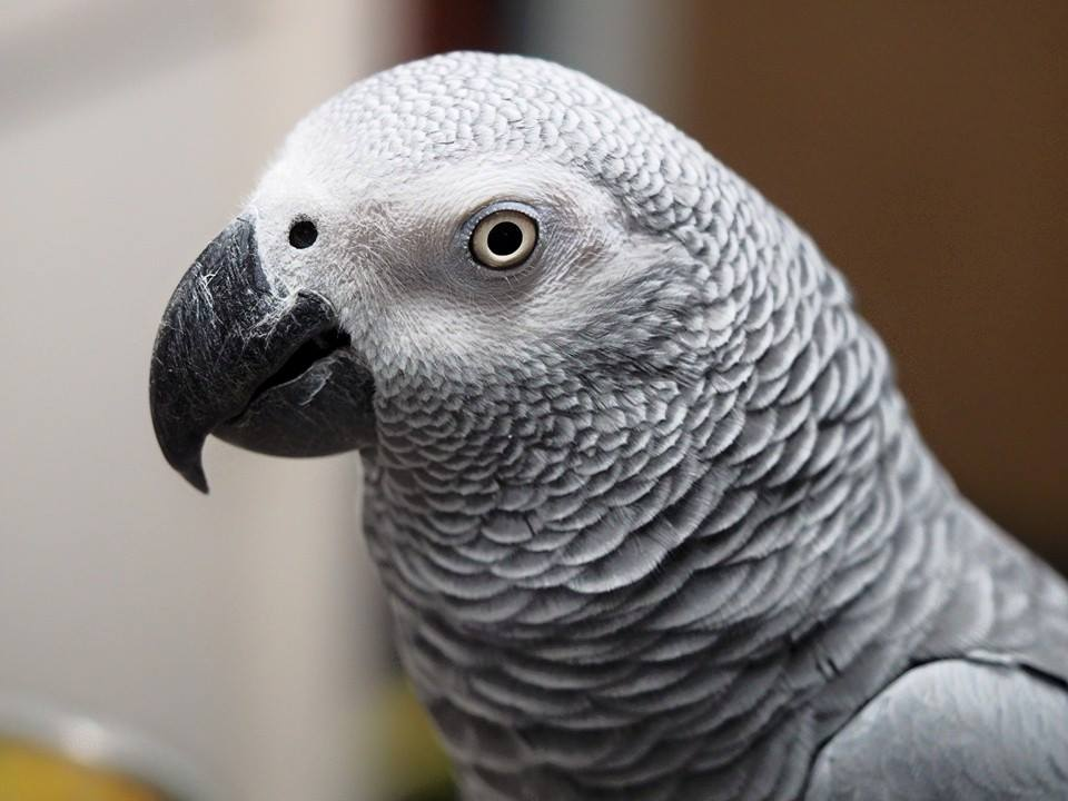 Tinkerbell: African Grey Parrot
