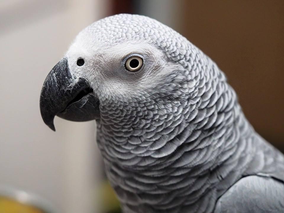 Tinkerbell: African Grey Parrot