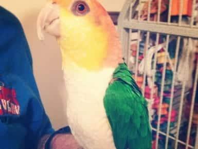 Kiki: Caique Parrot